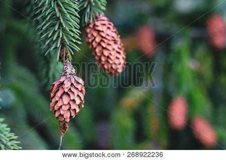 Background With Beautiful Green Pine Branches And Brown Cones. Bright Christmas Wallpaper With Two C
