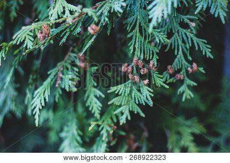 Tender Green Christmas Background With Thuja Tree Branches And Small Brown Cones. Wallpaper Full Of