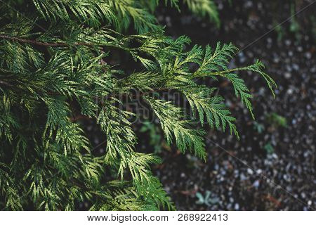 Closeup Of Bright Green Thuja Branches With Focused And Blurred Parts On Dark Ground Background. Abs