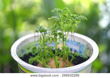 Young Shoot Of Carrot Plant In Recycled Plastic Cup