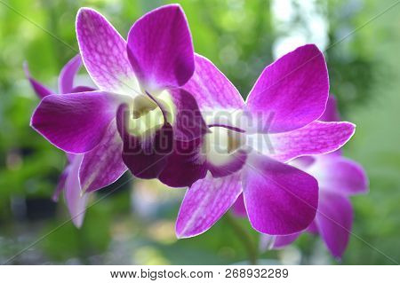 Dendrobium Orchid, Dendrobium Sp., Central Of Thailand