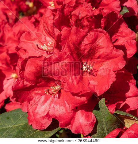 Rhododendron Hybrid Rabatz (rhododendron Hybrid), Flowers Of Springtime