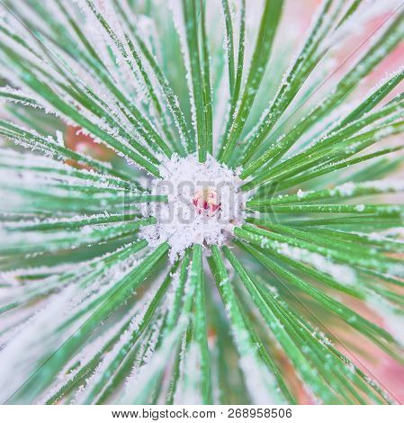 Coniferous Branches Covered With Hoarfrost. Close-up Of Branches Of Evergreen Trees Covered With Del