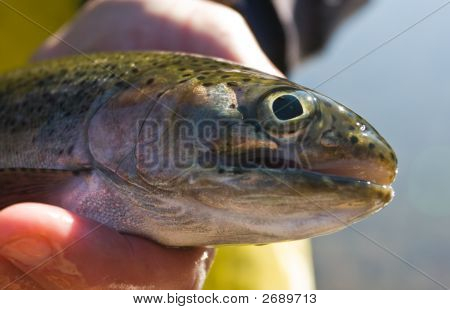 Hook-Scarred Rainbow Trout
