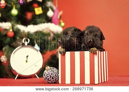 Year Of Dog, Holiday Celebration. Santa Puppy At Christmas Tree In Present Box. Dog Year, Pet And An