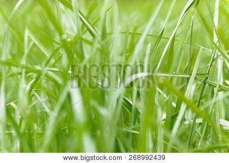Grass Texture. Fresh Green Spring Grass With Dew Drops Background, Closeup. Soft Focus. Abstract Nat