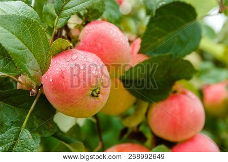 Close-up Of Red Ripe Apple On Branch In Soft-focus In The Background. Apple Tree. Apple With Rain Dr