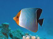 Tropical fish Hooded butterfly fish in red sea poster