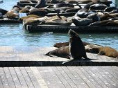 famous sea lions at fisherman's wharf in san francisco, ca poster