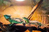 two basilisk lizards are resting on a log in a terrarium poster