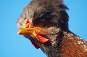 close-up hen portrait on a blue background poster