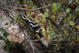 Eastern Spotted Skunk (spilogale Putorius) Climbs Up Apple Tree - Captive Animal