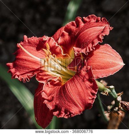 Cultivar Of A Daylily (hemerocallis) In The Summer Garden