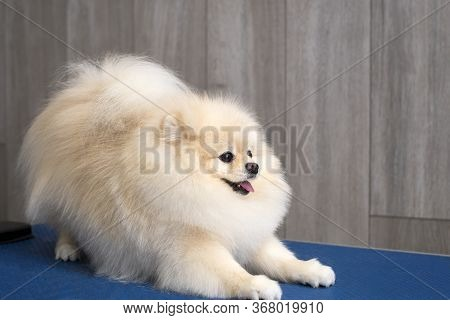 Cute Pomeranian Puppy Dog Lying And Looking Right At Camera. Copy Space For Your Text.