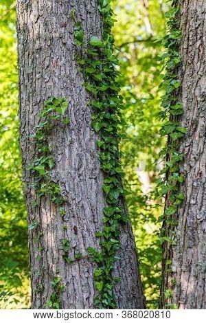 Backyard English Ivy Climbing Up These Tree Trunks.