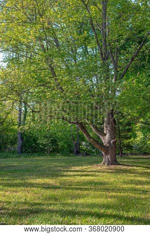 A Backyard Swamp Maple In Central New Jersey On A Nice Spring Day.