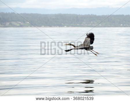 Great Blue Heron Flying Over Water Near Richland Saltwater Park, Shoreline, Washington