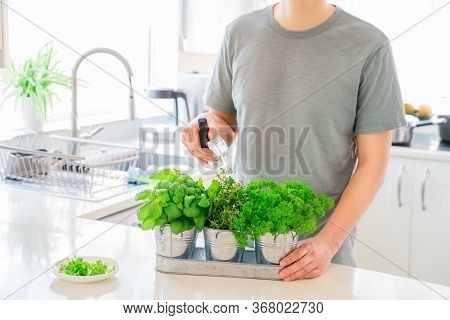 Young Man Watering Home Gardening On The Kitchen. Pots Of Herbs With Basil, Parsley And Thyme. Home
