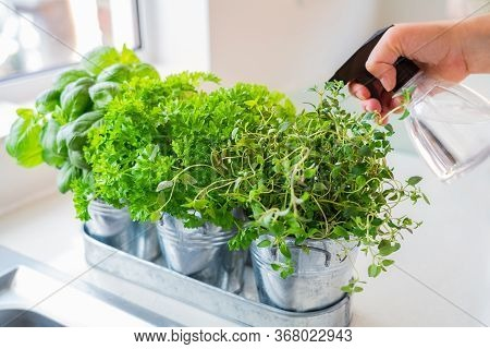 Close Up Hand Watering Home Gardening On The Kitchen. Pots Of Herbs With Basil, Parsley And Thyme. H