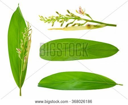 Galangal Leaf And Flower Isolated On White Background