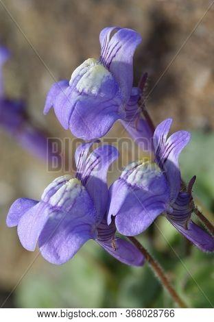 Ivy-leaved Toadflax - Cymbalaria Muralis  Closeup Of Three Flowers