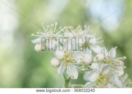 White Inflorescences Of Mountain Ash Sorbus Intermedia Close-up. White Flowers On A Blurry Green Bac