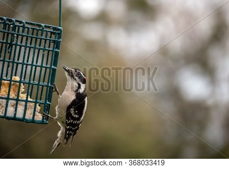 This Little Made Downy Woodpecker Seems To Appreciate The Suet Cake Provided In This Missouri Backya