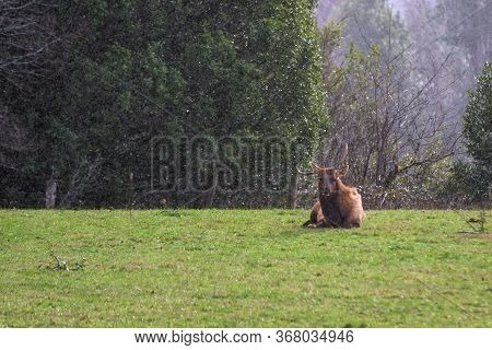 Roosevelt Elk - Cervus Canadensis Roosevelti