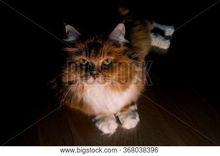 Low Key Portrait Of Ginger Cat, Lying On Wooden Floor. Red Fluffy Cat With A Magnetic Look Of Yellow
