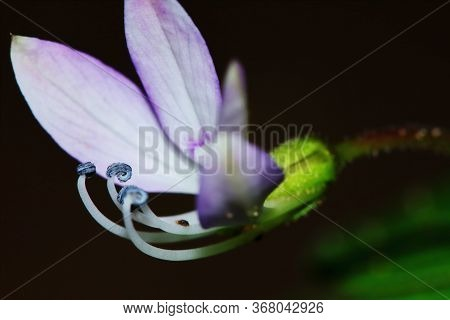 Close Up Sesbania Javanica Flower In Nature Garden For Beautiful Background