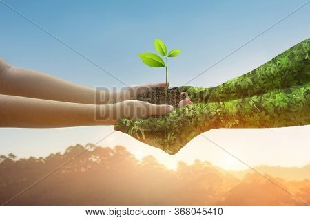 Environment Earth Day Hands From Nature. Girl Hands Holding Trees Growing On Golden Light Nature Mou