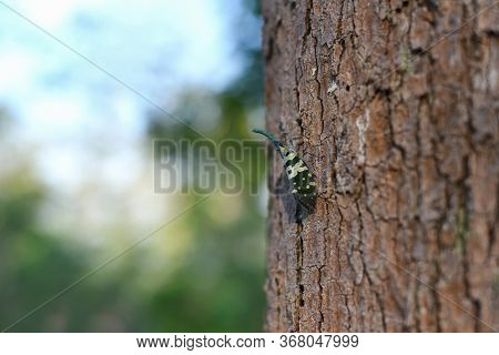 Insects (pyrops Candelaria) Or The Elephant Trunk Beetle Has A Yellowish Green Color As The Point Is
