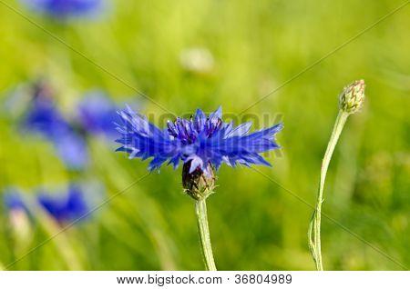 Closeup Of Blur Cornflower Bluet Bluebottle Flower