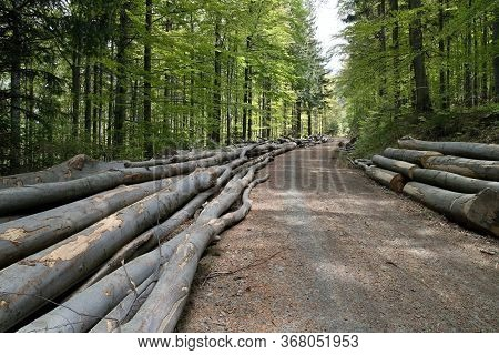 Forest Road To The Top Of Lysá Hora, Lined With Felled Oaks In A Mature Forest, Czech Republic