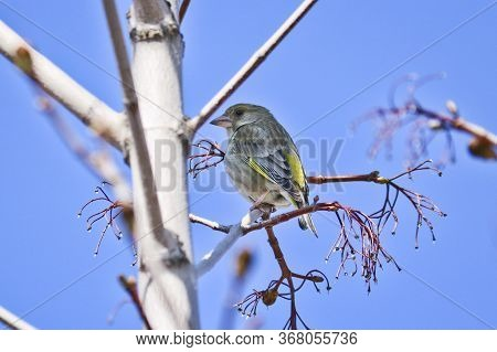 The European Greenfinch (chloris Chloris) Sits On A Branch. Beautiful Bird With Yellow Feathers - Is