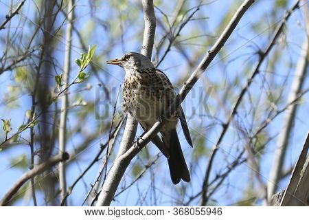 Fieldbird (turdus Pilaris) Sits On A Tree Branch. Close-up. Bird Thrush Family Turdidae