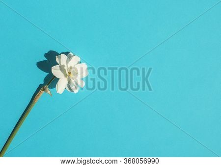 Delicate White Daffodil Isolated On A Bright Blue Background. Flat Lay In Minimal Style. Top View, C