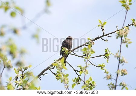 Male Blackbird Or Turdus Merula In Spring Time Shot In A Tree. Male Blackbird Is Sitting In A Tree.