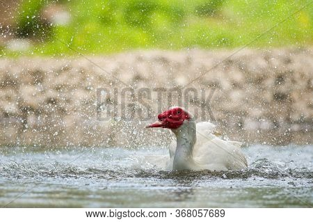 View Of White Muscovy Duck Swims In The River