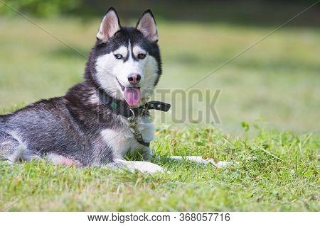 Cute Siberian Husky Play On Grass. Cute Dog