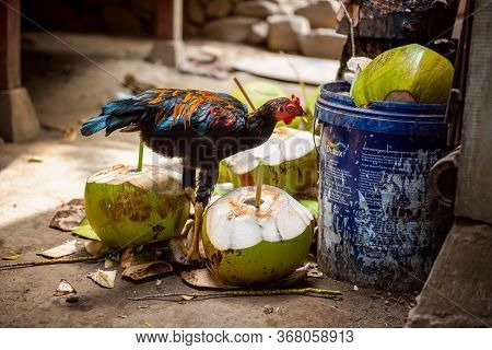 Bali, Indonesia - December 01, 2019: Chicken On Balinese Traditional House Courtyard Is Pecking From