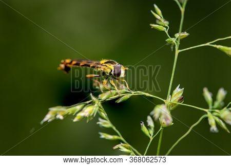 A Male Long Hoverfly (sphaerophoria Scripta, Syrphidae) Resting On Grass (vienna, Austria)