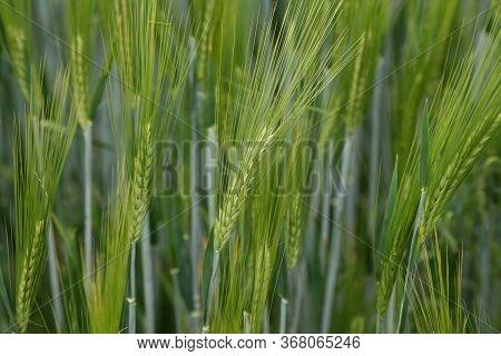 Green Winter Crops In The Fields Began To Spike