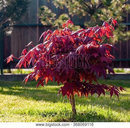 Small Red Maple Tree In The Garden