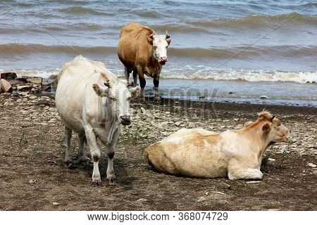 Three Cows Are Resting On The Riverside Near The Water In A Cloudy Day. Rustic Scene In Pastel Color