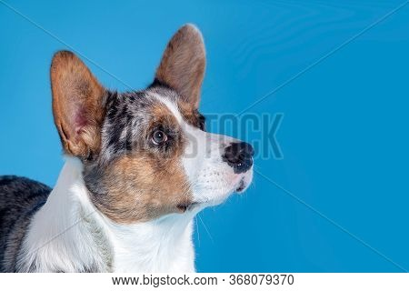 Close Up Profile Portrait Of Cute Welsh Corgi Dog Looking At Up Right Corner. Unusual Merle Color, P