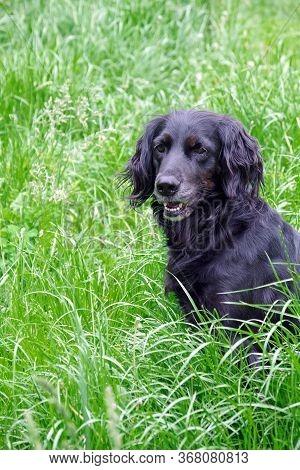 Gordon Setter. Hunting Dog In The Grass.