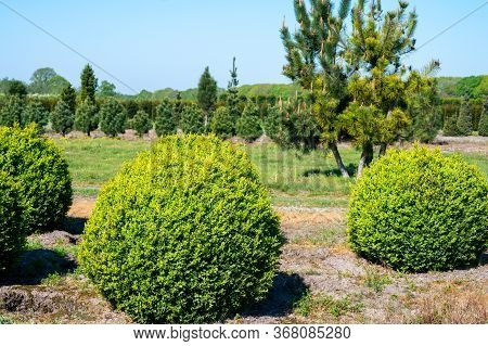 Plantation Of Buxus Boxwood Plants In Ball Shape