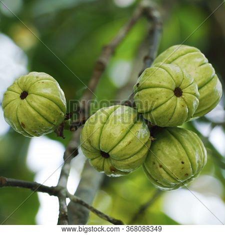 Garcinia Gummi-gutta Known As Garcinia Cambogia As Well As Brindleberry, Malabar Tamarind And Pot Ta