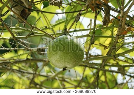 Yellow Passion Fruit On Vine, Passion Fruit Is The Fruit Of A Number Of Plants In The Passiflora Fam